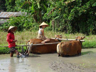 Kinderen helpen mee op de rijstvelden van Bali, Ubud