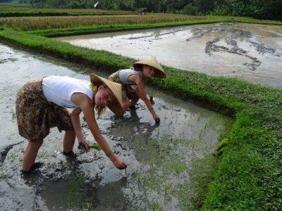 Meehelpen op de rijstvelden van Bali