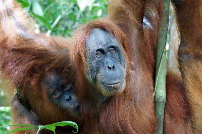 Oerang Oetan in de jungle van Sumatra