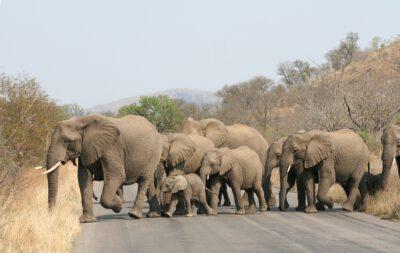 Olifanten in Kruger NP Zuid-Afrika
