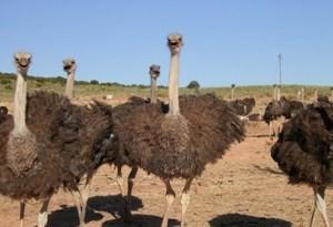 oudtshoorn-struisvogels
