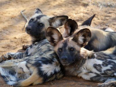 wilde honden Hluhluwe