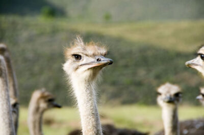 Struisvogels bij Oudtshoorn, Zuid-Afrika