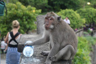 Er zijn veel aapjes bij de Uluwatu tempel op Bali in Indonesie