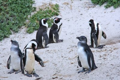 pinguins-boulders-beach