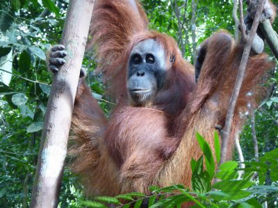 Orang Oetan in de jungle van Sumatra