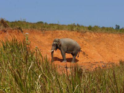 Een olifant op pad in het Khao Yai National Park