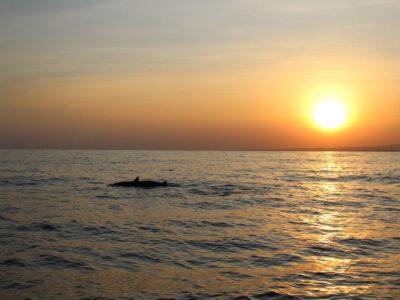 's Morgensvroeg voor de kust van Lovina zie je grote scholen dolfijnen langs je boot zwemmen, Bali, Indonesie
